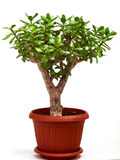 Crassula Stock Image