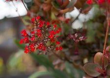 Crassulaceae Fotos de Stock Royalty Free