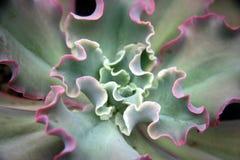 Crassulaceae Royalty Free Stock Photo