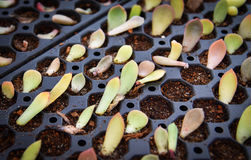 Crassulaceae di Kalanchoe della scuola materna in vaso Fotografia Stock