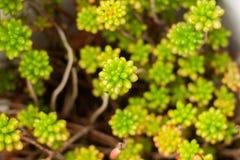 Crassulaceae: Familia de uva de gato Primer casero natural verde de la planta fotografía de archivo