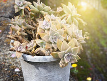 Crassulaceae Kalanchoe plant. In the pot decoration in garden Royalty Free Stock Photos