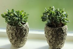 Crassulaceae plant in front of window. Close up Crassulaceae plant in front of window in living room Stock Photos