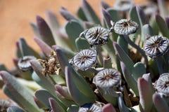 Crassulaceae, rare plant in South Africa Stock Images