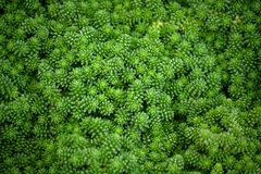 Crassulaceae sedum compactum rose, small bright green plants. With fine plump foliage, a lot on the full photo, background, texture royalty free stock photography