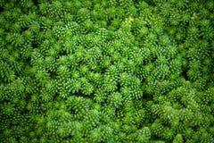 Crassulaceae sedum compactum stieg, kleine hellgrüne Anlagen lizenzfreie stockfotografie
