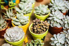 Echeveria harmsii. A succulent plant in deserts stock images