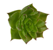 Crassulaceae Royalty Free Stock Photos