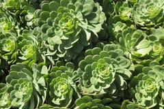 Crassulaceae suculento verde saudável da planta Imagens de Stock Royalty Free