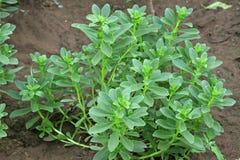 Crassulaceaeanlagen in der Anlage Lizenzfreies Stockfoto