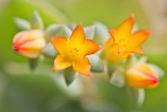 crassulaceaeblommor Royaltyfria Foton