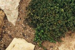 Crassulacee che coltiva vista superiore Fotografia Stock