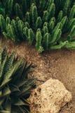Crassulacee che coltiva vista superiore Fotografia Stock Libera da Diritti