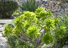 Crassulacee che cresce nel giardino un giorno soleggiato Bello houseleek dell'albero o di aeonium al sole immagini stock libere da diritti