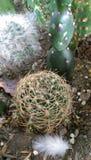 Crassulacee del cactus Fotografie Stock Libere da Diritti