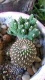 Crassulacee del cactus Fotografia Stock