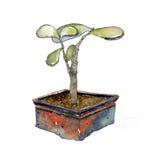 Crassulasuckulentväxter stock illustrationer