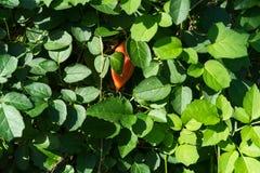 Crassulla brevifolia plant leaf close up with red fruit Stock Image