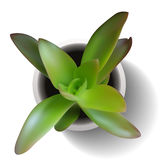 Crasula succulente vector Royalty-vrije Stock Foto's
