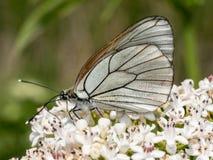 Crataegi Aporia, μαύρη φλεβώδης άσπρη σίτιση πεταλούδων στο άγριο ΛΦ Στοκ Εικόνες