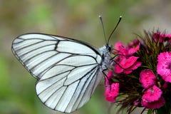 Crataegi Aporia πεταλούδων Στοκ εικόνα με δικαίωμα ελεύθερης χρήσης