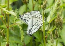 Crataegi Aporia πεταλούδων Στοκ φωτογραφία με δικαίωμα ελεύθερης χρήσης