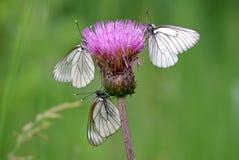 Crataegi Aporia τριών μαύρος-φλεβώές άσπρο πεταλούδων Στοκ Φωτογραφία