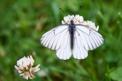 Crataegi bianco di Aporia della farfalla immagine stock libera da diritti