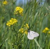 crataegi blanco Negro-veteado de Aporia de la mariposa fotografía de archivo