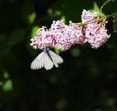 crataegi blanco Negro-veteado de Aporia de la mariposa que se sienta en una flor fotos de archivo libres de regalías