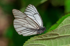 Crataegi blanco y negro de Aporia de la mariposa en hábitat natural en el primer verde de la hoja Fotos de archivo libres de regalías