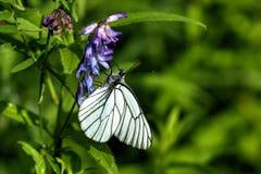 Crataegi di Aporia della farfalla il giorno di fioritura sistema l'estate rurale di sally del fiore del fireweed Immagine Stock Libera da Diritti