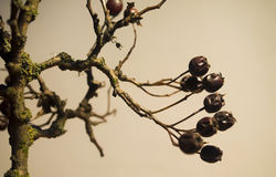 Crataegus. Hawthorn fruit brown in winter Stock Photos