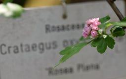 Crataegus Στοκ Φωτογραφίες