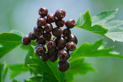 Crataegus almaatensis. Red-black berry and green leaves Royalty Free Stock Photography