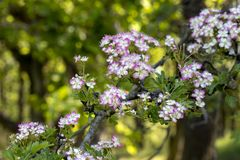 Crataegus in blossom. With colorful background Royalty Free Stock Photography