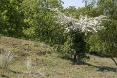 Crataegus in blossom. In nature Stock Photo