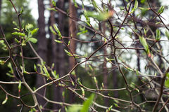 Crataegus branch with thorns and leaves blooming Royalty Free Stock Photo
