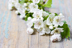 Crataegus commonly called hawthorn, thornapple. On wooden table Royalty Free Stock Photography