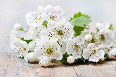 Crataegus commonly called hawthorn, thornapple. On wooden table Royalty Free Stock Photo