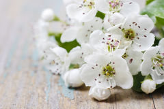 Crataegus commonly called hawthorn, thornapple Royalty Free Stock Images