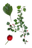 Crataegus. With details of leaf and berry isolated on white background Stock Image