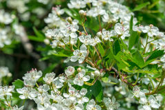 Crataegus flowers in May. Middle Europe Stock Photography