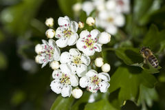 Crataegus laevigata. Selective focus image of the midland hawthorn ( Crataegus laevigata Royalty Free Stock Photo