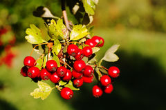 Crataegus Laevigata. Seen in Italy in autumn Stock Photos