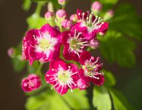 Crataegus laevigata. Or crimson cloud hawthorne Stock Photo