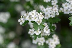Crataegus laevigata hawthorn tree in bloom during springtime, branches with green leaves and group of flowers and buds petals. Crataegus laevigata hawthorn tree Royalty Free Stock Image