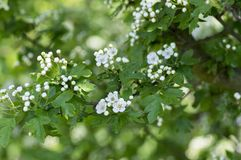 Crataegus laevigata hawthorn tree in bloom during springtime, branches with green leaves and group of flowers and buds petals. Crataegus laevigata hawthorn tree Royalty Free Stock Photo