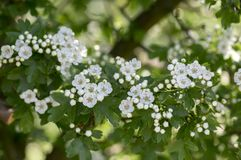 Crataegus laevigata hawthorn tree in bloom during springtime, branches with green leaves and group of flowers and buds petals. Crataegus laevigata hawthorn tree Stock Photography