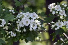 Crataegus laevigata hawthorn tree in bloom during springtime, branches with green leaves and group of flowers and buds petals. Crataegus laevigata hawthorn tree Royalty Free Stock Photography